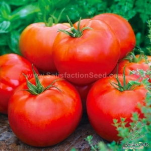 ace 55 tomato seeds