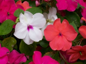baby red white mix impatiens seeds
