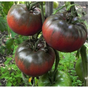 black from tula tomato seeds