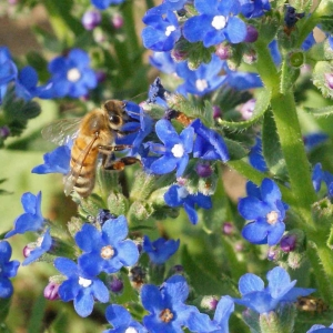 blue cape forget me not anchusa seeds