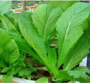 gai choi chinese leaf mustard green seeds