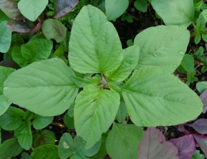green edible amaranth chinese spinach seeds