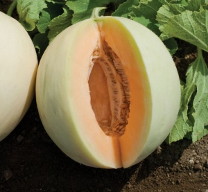 honeydew orange flesh melon seeds