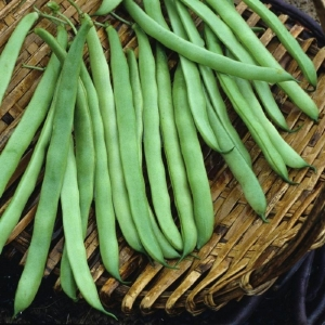 kentucky bush bean seeds