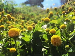 lemon drops spilanthes seeds