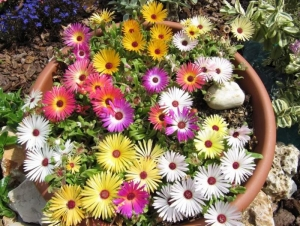 mix ice plant seeds