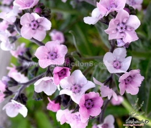 pink chinese forget me not seeds