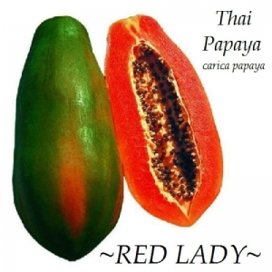red lady f1 dwarf papaya seeds