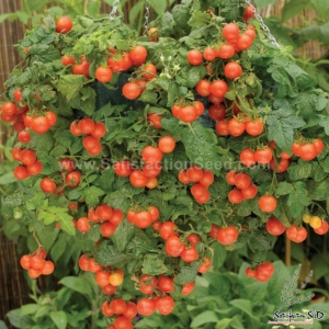 red tumbler tomato seeds