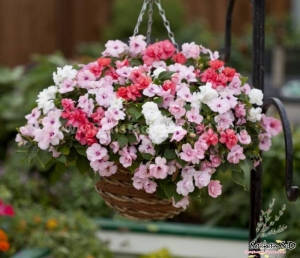 semi double f1 mix impatiens seeds