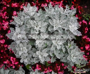 silver dust cineraria maritima seeds