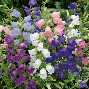 single mix cantebury bells seeds