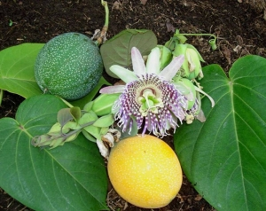 sweet granadilla passion fruit seeds