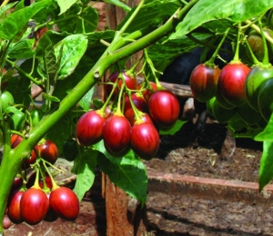 tamarillo tomato tree seeds