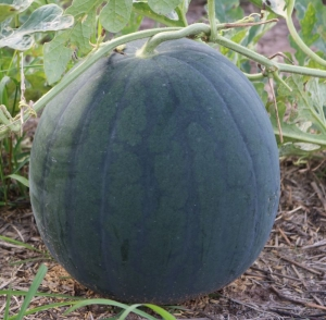 tet holiday round dark 10kg watermelon seeds