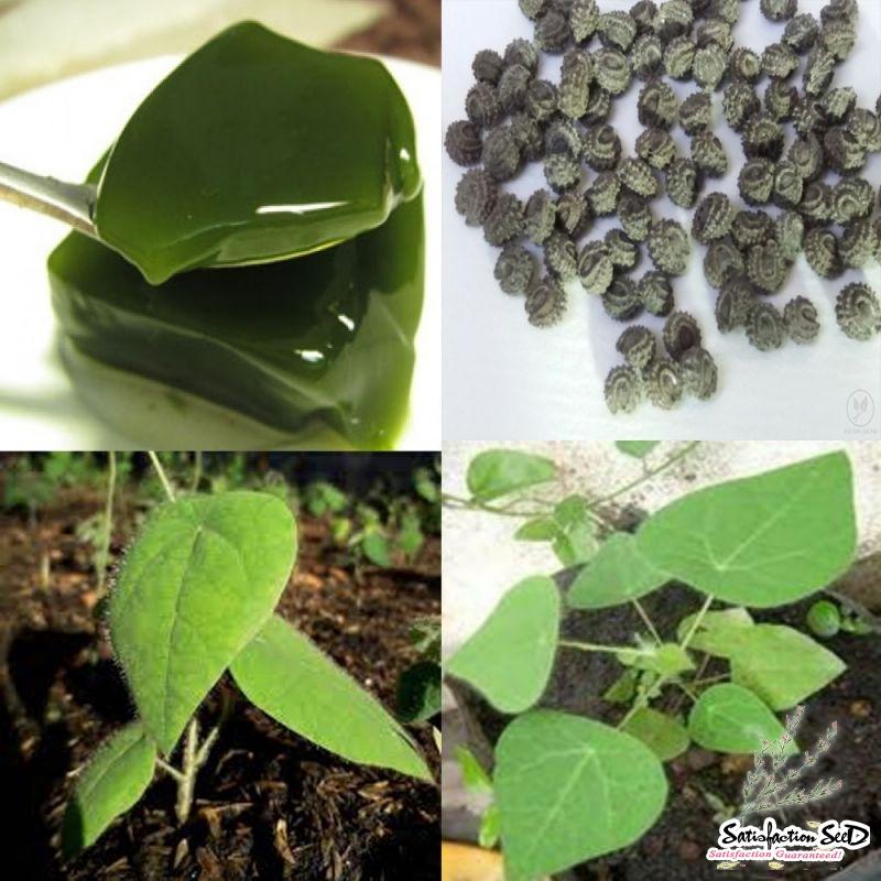10 Tiliacora triandra YANANG SEEDS Ya Nang Herbal Asian Tea Medicinal Jelly